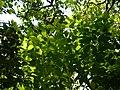 Litsea stocksii (17290163141).jpg