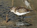 Little Stint (Calidris minuta) (46541719452).jpg