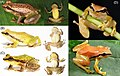 Live-specimens-of-the-new-species-A-Pristimantis-limoncochensis-sp.jpg