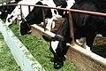 Livestock17.tif (27097921709).jpg