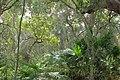 Livistona australis 14694924608 f550957587 o.jpg