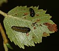 Lochmaea^ leaf beetle larvae on birch leaf - Flickr - S. Rae.jpg
