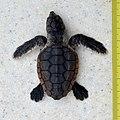 Loggerhead Sea Turtle - Caretta caretta (juvenile) in Sanibel (Florida) 02 (with scale).jpg
