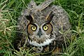 Long-Eared Owl at LC41 (KSC-05pd2448).jpg