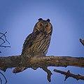 Long-eared owl (40980457330).jpg