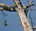 Long-tailed Parakeet pair Andamans.JPG
