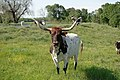 Longhorn cattle grazing. (24993124182).jpg