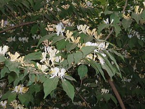 Lonicera maackii - Foliage and flowers in spring