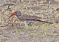 Lophoceros bradfieldi.jpg
