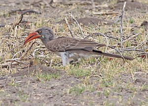 Bradfield's hornbill - Image: Lophoceros bradfieldi