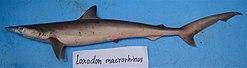 כריש חוטמן