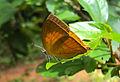 Loxura atymnus - Yamfly 20.JPG