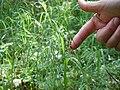 Luzula parviflora (22331826173).jpg