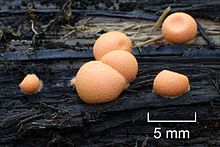 Lycogala epidendrum 2011 G1 scale.jpg