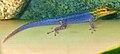 Lygodactylus luteopicturatus.jpg