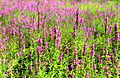 Lythrum salicaria, purple loosestrife, Massachusetts.jpg