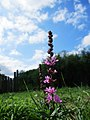 Lythrum salicaria (Krwawica pospolita).jpg