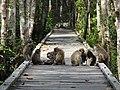 MACACA FASCICULARIS TANJUNG PUTING NATIONAL PARK.jpg