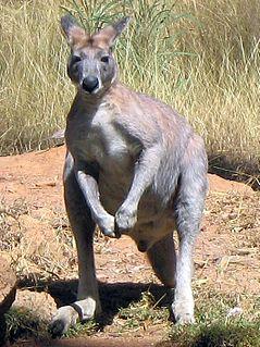 Antilopine kangaroo Species of marsupial