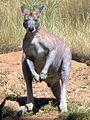 Macropus antilopinus 1.jpg