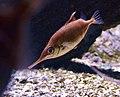 Macroramphosus scolopax Scheveningen Sea Life 15022016 1.jpg