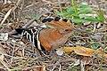 Madagascar hoopoe (Upupa marginata).jpg