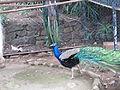 Madeira em Abril de 2011 IMG 2166 (5664817130).jpg