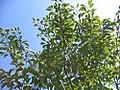 Magnolia virginiana Moonglow 3zz.jpg