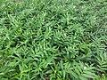 Maianthemum stellatum SCA-03457.jpg