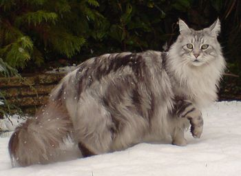 English: Maine Coon Silver Tabby in snow