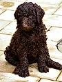 Maisiepuppydog.jpg
