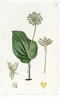 Malaxis unifolia (as Microstylis ophioglossoides) - Edwards vol 15 pl 1290 (1829).jpg