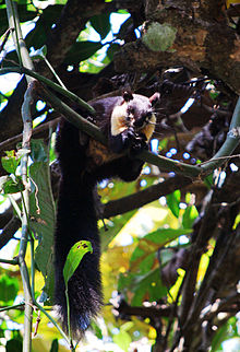 Malayan Gaint Squirrel At Manas N P.jpg