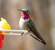 Male Broad-tailed Hummingbird 1