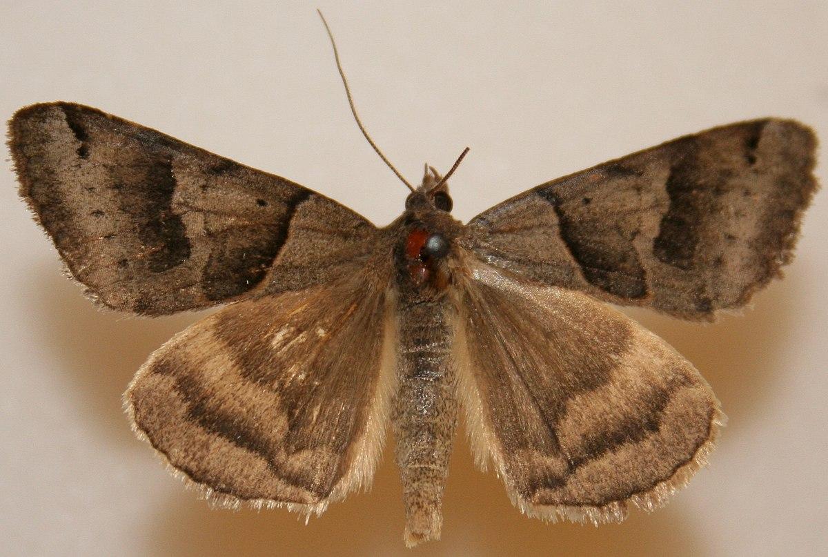 Caenurgina erechtea - Wikipedia