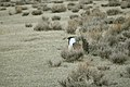Male Greater Sage-Grouse (7094306101).jpg