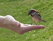 Male House Sparrow (Passer domesticus) feeding from hand.jpg