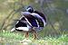 Mallard duck - Toulouse - 2012-04-09 - 4.jpg