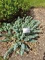 Malpighiales - Euphorbia myrsinites - 1.jpg