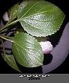 Malus sylvestris sl1.jpg