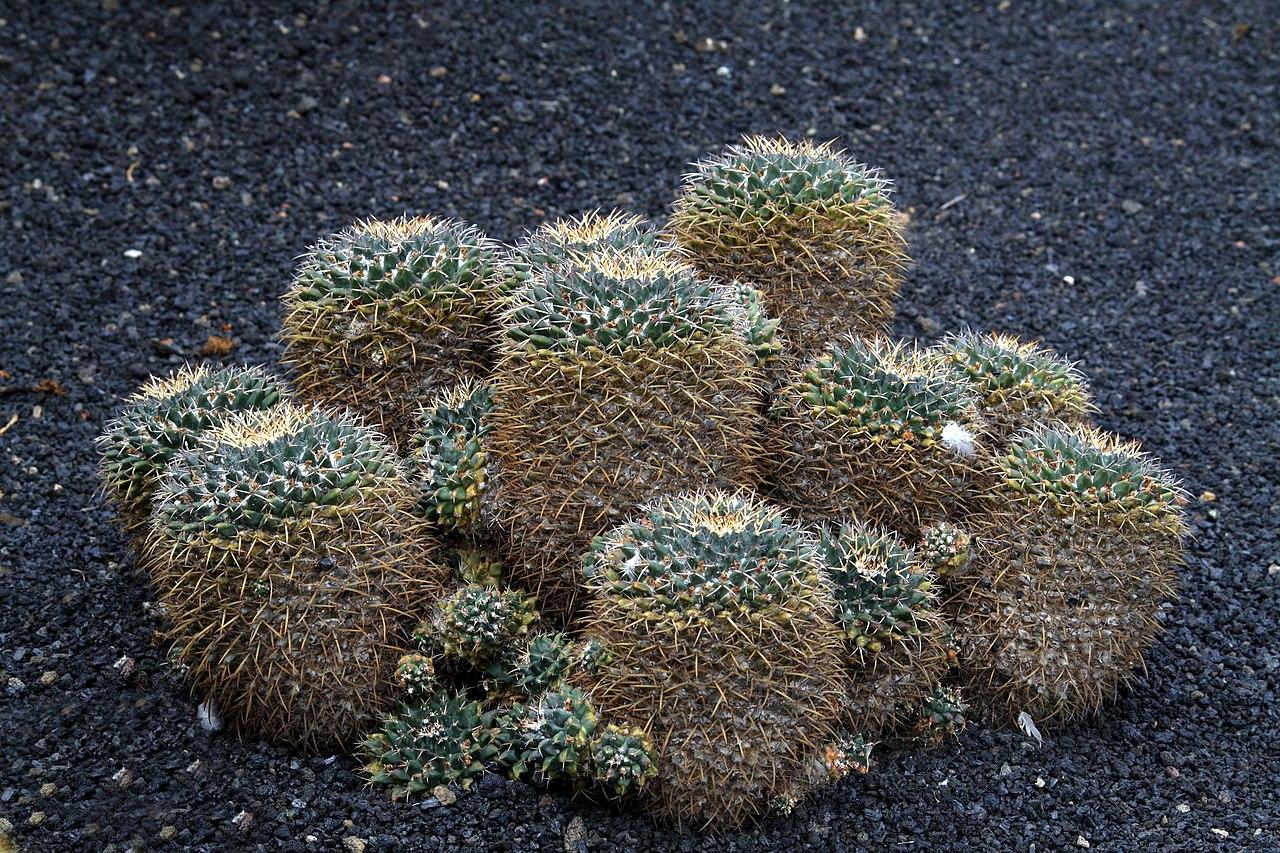 File mammillaria magnimamma in jardin de cactus on for Jardines con cactus