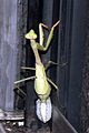 Mantis laying ootheca.jpg
