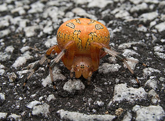 Araneus - Marbled orb-weaver (Araneus marmoreus)