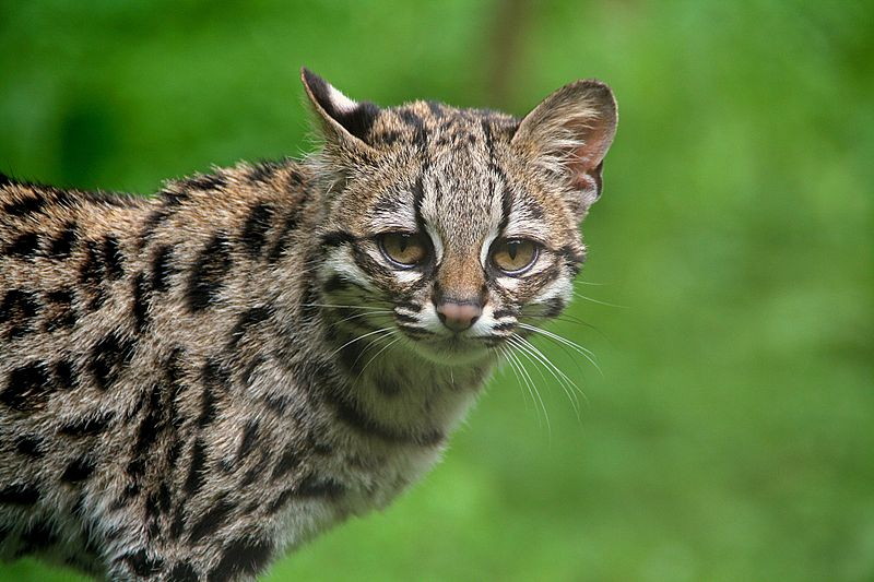 """Margay"" by Clément Bardot - Own work. Licensed under CC BY-SA 3.0 via Wikimedia Commons - https://commons.wikimedia.org/wiki/File:Margay.jpg#/media/File:Margay.jpg"