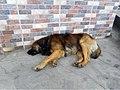 Marinilla Colombia - Street Dogs Perros Callejeros 04.jpg