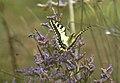 Mariposa rey atacada por una mosca azul 01 - butterfly attacked by a fly (279365421).jpg