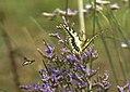 Mariposa rey atacada por una mosca azul 03 - butterfly attacked by a fly (279367345).jpg