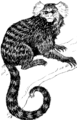Marmoset (PSF).png