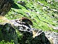 Marmotă în Retezat (2).jpg