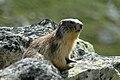 Marmota marmota.JPG